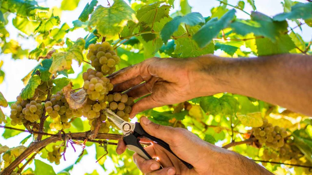 Pazo Baion's grapes is one of the secrets of the goldsmith wines