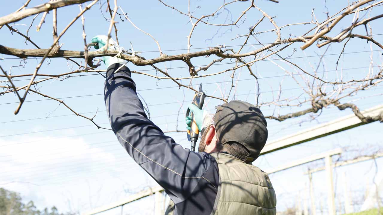 Manual pruning at Pazo Baion is the way to get the goldsmith wines