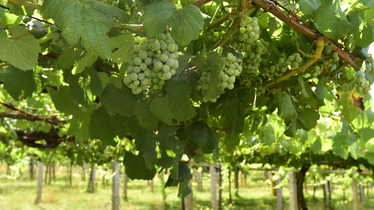 The harvest at Pazo Baion is a delicate and careful process